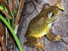 New green Frog Species from Suriname.jpg