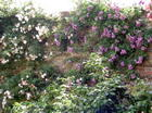 Old Walls and Roses