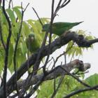Orange Chinned Parakeet Pair