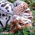 Ocelot Upside Down