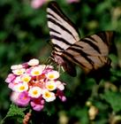 Butterfly   ( Greece )