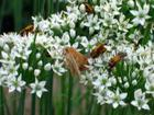 Soldier Beetles and Moth.jpg