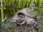 This is Sammy, he is a huge snapping turtle that has been in the area for a long time.