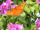 Beautiful Monarch on the bouganvillea at Ginny and Rick's