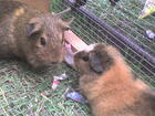 my guiney pigs