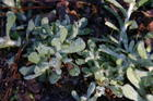 Melting Frost On Pearly Everlasting.jpg