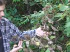 Foraging for Burdock