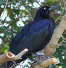 Great-tailed Grackle - Male (Quiscalus mexicanus)