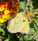 Southern Dogface (Colias cesonia)