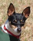 Rat Terrier female about 15 pounds