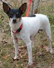 Rat Terrier female 15 pounds