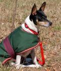 Rescued rat terrier female dog