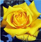 Yellow_20Treasure_20Rose.jpg