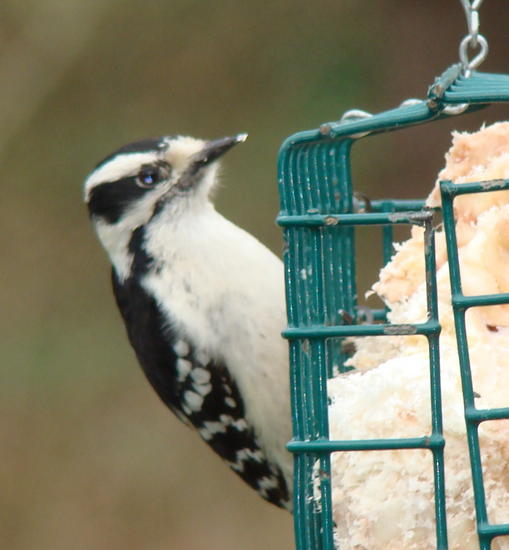 little woodpecker.jpg