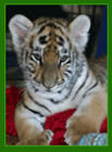 Tiger Cub, called Callie.