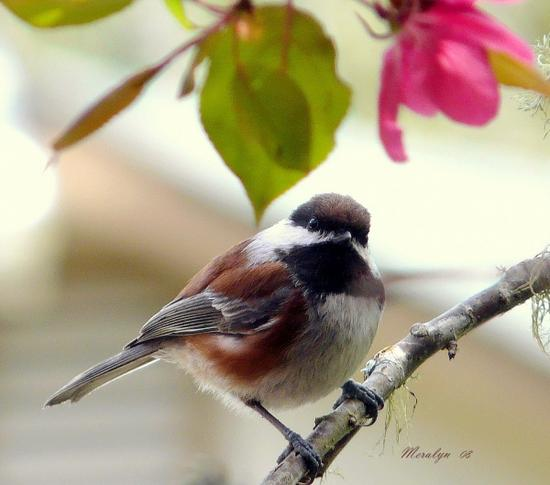 Chicadee, male, Apr 08