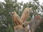 Wooden  Eagles