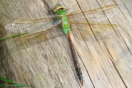 Another Dragon Fly.jpg