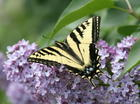 Butterfly and Lilac.jpg