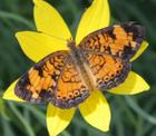 Pearl Crescent on Coreopsis