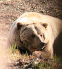 Lazy Grizzly