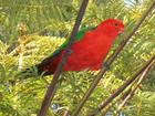 King Parrot - daily visitor
