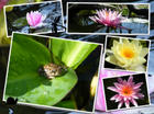 Water Lilies 2008