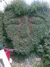garden hedge greenman1