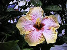 Our Hibiscus