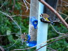 Goldfinches at my feeders