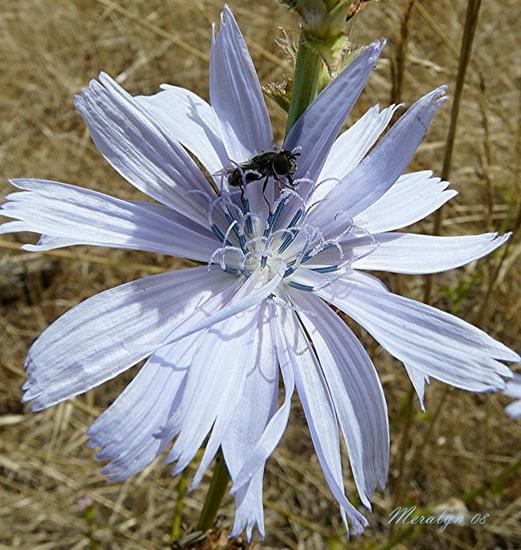 Chicory Blossom, Gold Beach, OR, Aug 08