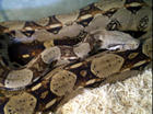 Diesel (red tail boa)
