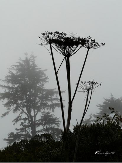 Cow Parsnip in the Fog