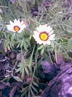 our daisies