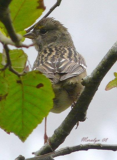 Golden-Crowned Sparrow, Immature, back view