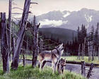 386234_Wolf-and-Pup.jpg