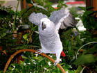 Spinner, my African Grey parrot
