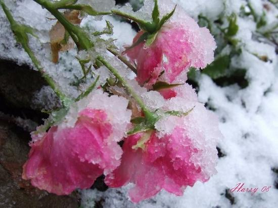 Harry's Roses in the Snow, Dec 15-08