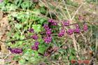 Beautyberry - a great food source