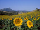 390-231_Field-of-Sunflowers-in-Summer-Near-Ronda-Andalucia-Spain-Posters.jpg