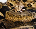 Princess.  Our Columbian Red tail Boa