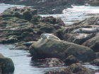 Harbor seals hauling out and basking in the sun.