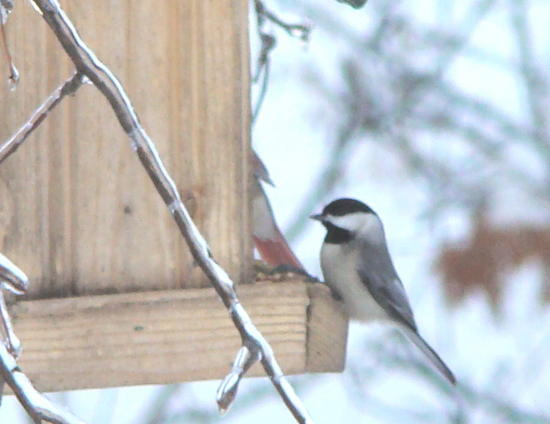 blackcapped chickadee.jpg