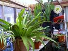Birdnest Fern in my greenhouse