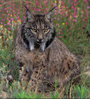 Lynx_pardinus_113_AS.jpg