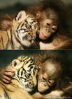 Two pics of a baby tiger+baby orangutang :-)