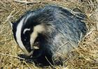 Badger in bedding