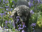 Rosie in the Bluebells