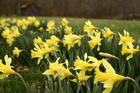 field-of-yellow-daffodils-spring.jpg