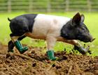 rpy_pig_in_boots_080611_ssh.jpg
